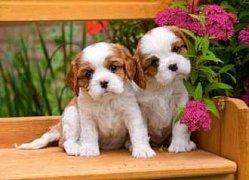 Spaniel's puppies