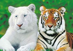 Tiger Brothers