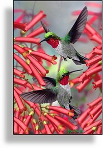 Hummingbirds - 1