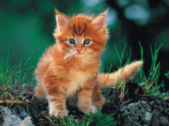 The Ginger Kitten - 1