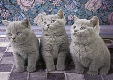 Three Kittens in Grey - 1