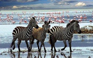 Zebras - 1